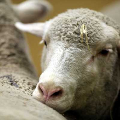 Bild: Schaf, über dts Nachrichtenagentur