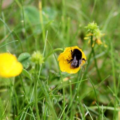 Bild: Hummel bestäubt Blüte, über dts Nachrichtenagentur
