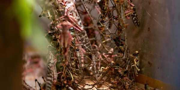 Wüstenheuschrecken sind derzeit in Ostafrika eine Plage.